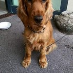 """ I want to go home "". Cocker Spaniel found in oranmore this evening. To reclaim contact oranmore station 091 388030 http://t.co/AZUjUudI3i"