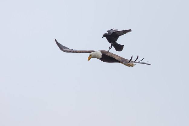 El fotógrafo Phoo Chan capturó el momento en que un cuervo se toma un descanso sobre la espalda de un águila http://t.co/eIS9AvVeLh