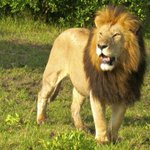 Roaring success: lions from South Africa successfully transported to Rwanda http://t.co/EF5O7eYLkK http://t.co/D5PCvDdSQC