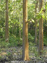 Pohon Cendana - AnekaNews.net