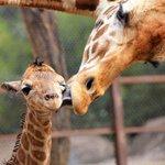 ¡Felicidades! al Zoológico de Chapultepec, que cumple este lunes 91 años de actividad >> http://t.co/UQZtlWrbKx