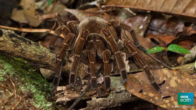 The largest recorded Theraphosa blondi was the size of a dinner plate // & The largest recorded theraphosa blondi was the size of a dinner ...