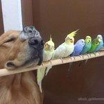 ゴールデン・レトリバーに、鳥8羽に、ハムスター  とっても不思議な組み合わせの動物仲良し家族。ブラジル・サンパウロで人間の家族とも仲良く暮らしているそうな。一緒にくつろぐ様子に和むなぁ。  http://t.co/MkzgAxGAdX http://t.co/B7TBtW6wtj