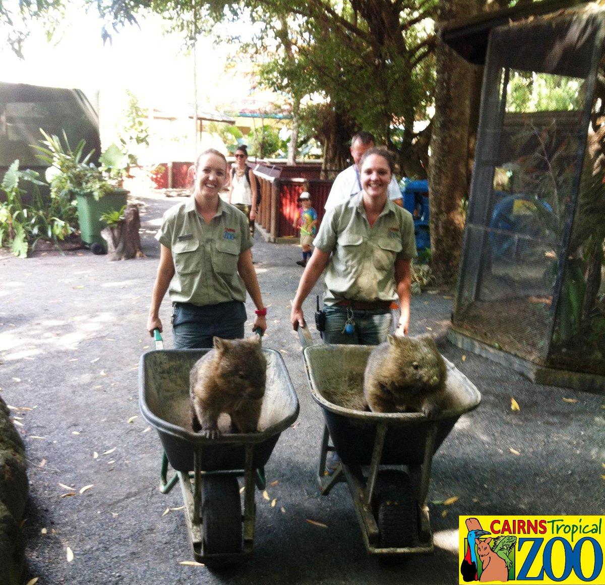 最近大人気なので運転手付きのハイヤーでご出勤!? さあ、現場行くよー♪ #オーストラリア #ケアンズ #ウォンバット #動物園 #トロピカルズー #Cairns #Australia #Zoo #exploreTNQ #wombat http://t.co/LzKhUN9aKP