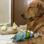 Bob the golden retriever becomes icon of inter-species friendship: http://t.co/4KGmmpgHiV. #9News http://t.co/l07aVbBua7