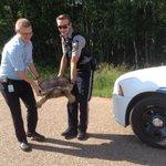 Slow moving suspect.. 80 pound wayward tortoise nabbed south of Sherwood Park. @StrathcoCounty #strangebuttrue #yeg http://t.co/dJ5wyZebCb