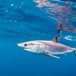Shark's unique trek could help save the species: http://t.co/QG4bsk62yu http://t.co/OHSzIU4kWF