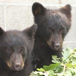 B.C. conservation officer suspended after refusing to kill bear cubs http://t.co/m2R1mad0Vq http://t.co/QdqSvFh69a