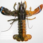 This lobster is 1 in 50 million. http://t.co/SFVg8bZxPH (AP Photo) http://t.co/pmMdh4aHbI