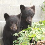 Conservation officer suspended after allegedly refusing to euthanize orphaned bear cubs http://t.co/nJTupsPYJi http://t.co/MGB37WVENW