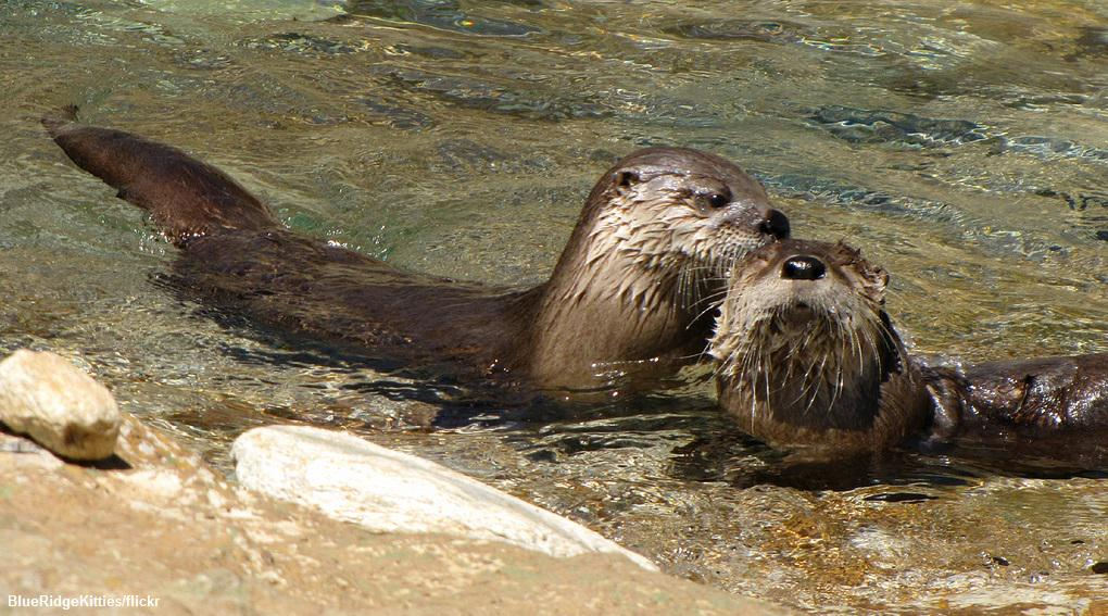Take action for otters! Don't let Congress gut the #CleanWaterAct. #ProtectCleanWater   http://t.co/tXLt49T5xv http://t.co/lkAd88CHgD