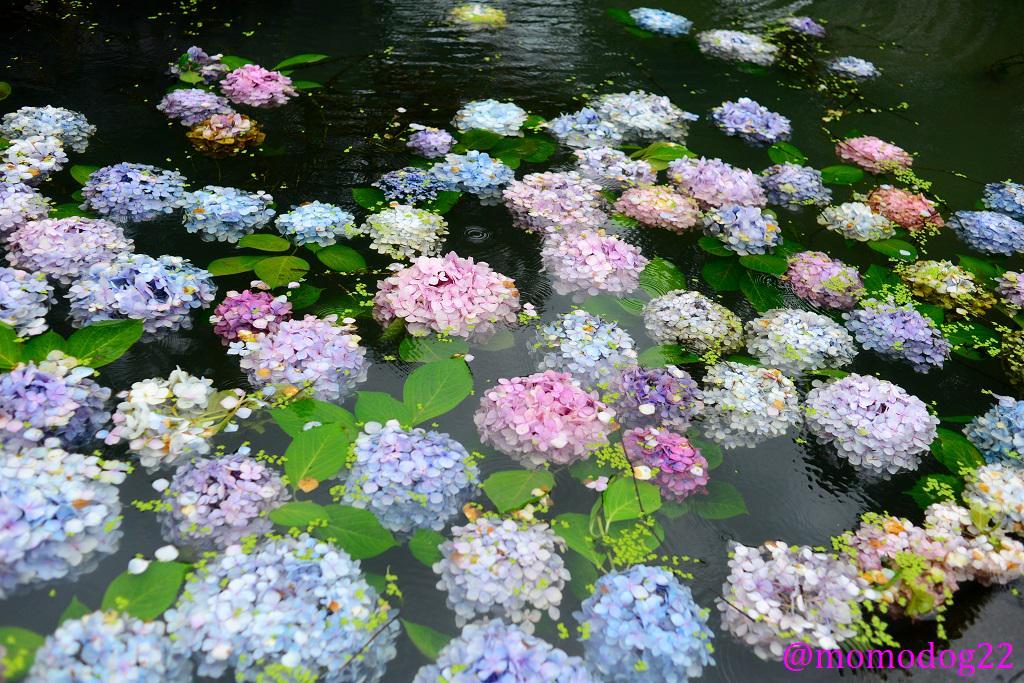 水面に浮かぶ紫陽花の花 雨の日によく似合う(7/8撮影) http://t.co/pFWWaQfWRZ