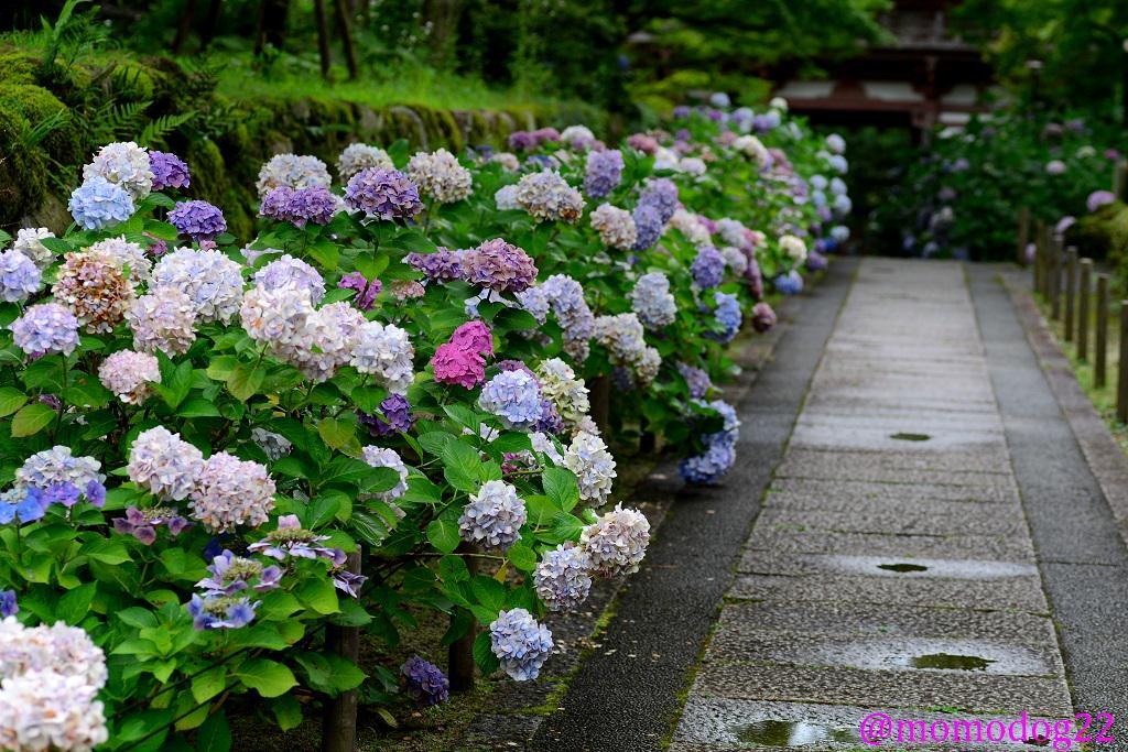 これは山寺の入り口の池に浮かべられている紫陽花で、参道の植栽の終りかけのアジサイの花を摘んで次々に浮かべていく。花を早めに摘むとその樹は強くなる。見た目にも美しいし、粋な花の再利用だと思う。(7/8撮影) http://t.co/ZyhwZh2uLB