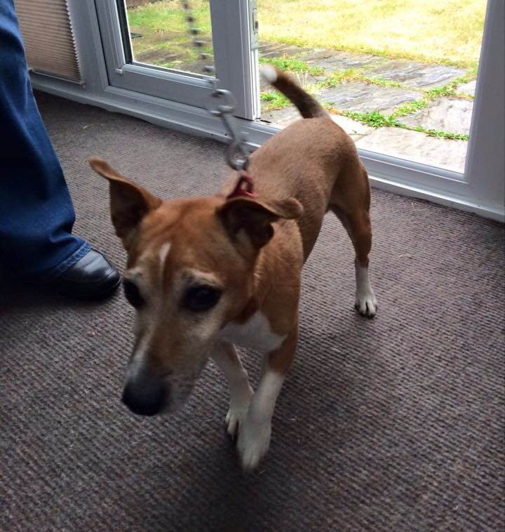 @DoglostUK Found - Male dog found in Bedfont (TW14 area) (looks like whippet cross with JRT in it)   red collar http://t.co/kJQlVGxqSH