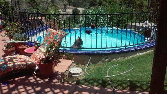 CLICK THESE PICS: A bear takes a dip in a Monrovia swimming pool. The story behind the pics at 10:30 on @KTLA #KTLA http://t.co/qBDN06Jykq