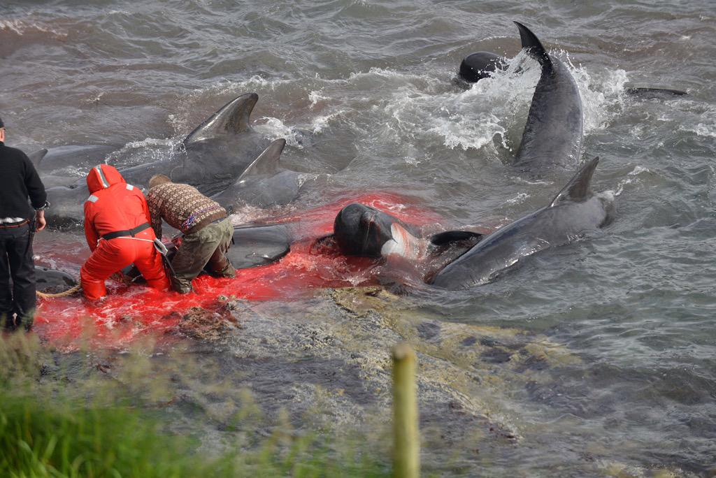 Barbaric pilot whale killing this week on the Faroe Islands. Whales need protecting worldwide. #savethewhales http://t.co/amQD5yTyo4