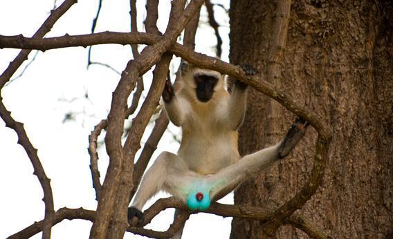 サバンナモンキーの画像検索して笑い止らない http://t.co/JTx2KIqRx2