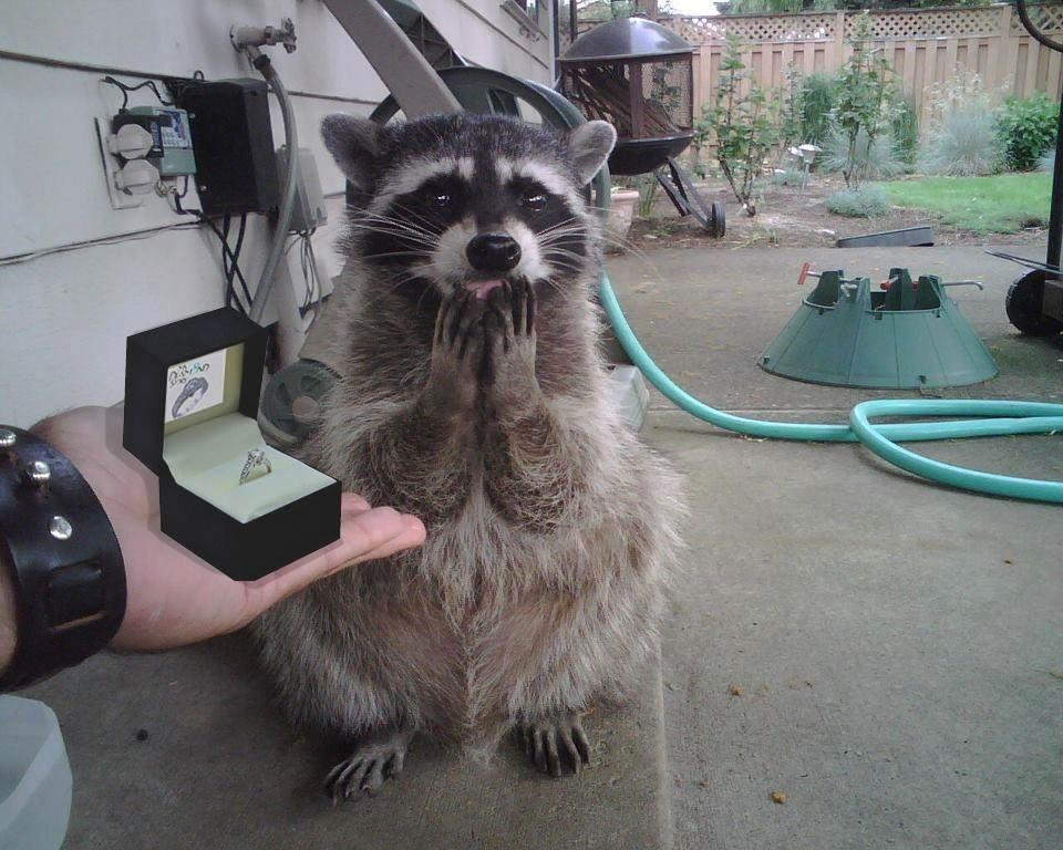 If You Only See One Raccoon Getting A Marriage Proposal Today Make
