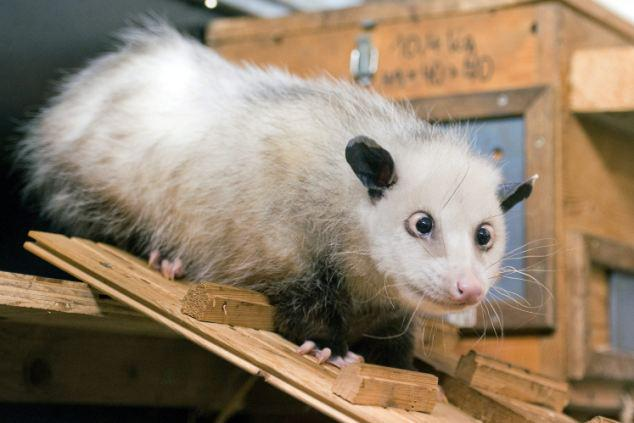 As every tech site has already posted the Motorola July 28th phone launch invite, here's a cross-eyed Possum instead. http://t.co/K5rglBxacV