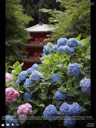 Hydrangea at temple near Kyoto http://t.co/1g2WPioX4z