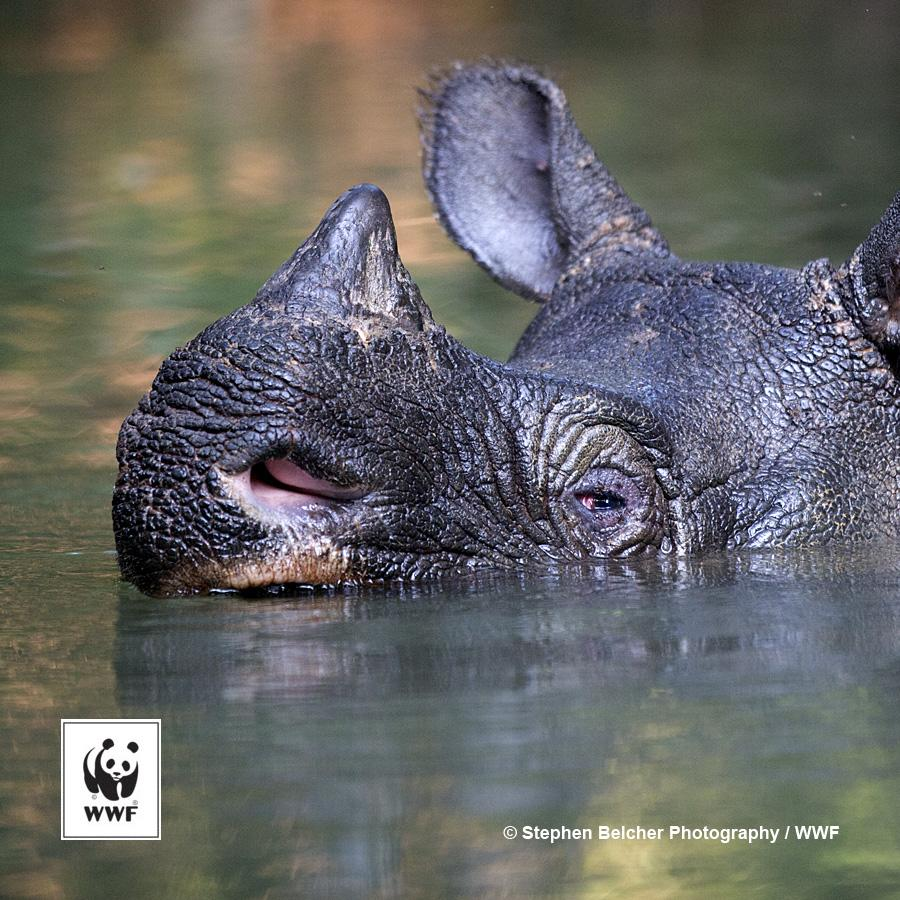 RT @WWF: Javan rhinos are on the brink of extinction w/ the last survivors confined to the Ujung Kulon National Park. RT http://t.co/8wNakZ…