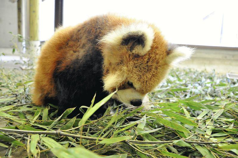 Come together for Kusu, the oldest #redpanda on the planet. He just died at 24 years old (equiv = 108 yrs old human). http://t.co/oAQ6ZBdqPF