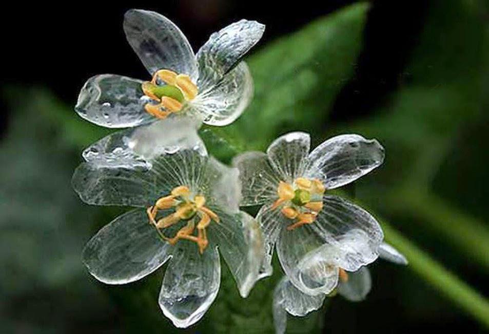 水に触れると白い花びらが透明になる美しい花の紹介。http://t.co/TNXAG87A33 名前はサンカヨウで、日本北部の山間部や米国アパラチア山脈などのやや湿った場所に分布。雨や朝露で透明になる。via @boredpanda https://t.co/A3OocM1Ibi