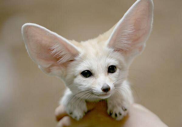 This is a Fennec Fox. Its furry feet work like snowshoes to protect it from extremely hot sand! http://t.co/8b08e6dX7d