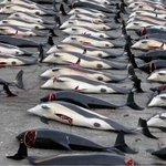 مهرجان صيد الحيتان في بحر جزر فارو شمال أوروبا يمتلئ بدماء مئات الحيتان التي تقتل يوم 22 نوفمبر من كل عام ! http://t.co/uAhJ2elszZ