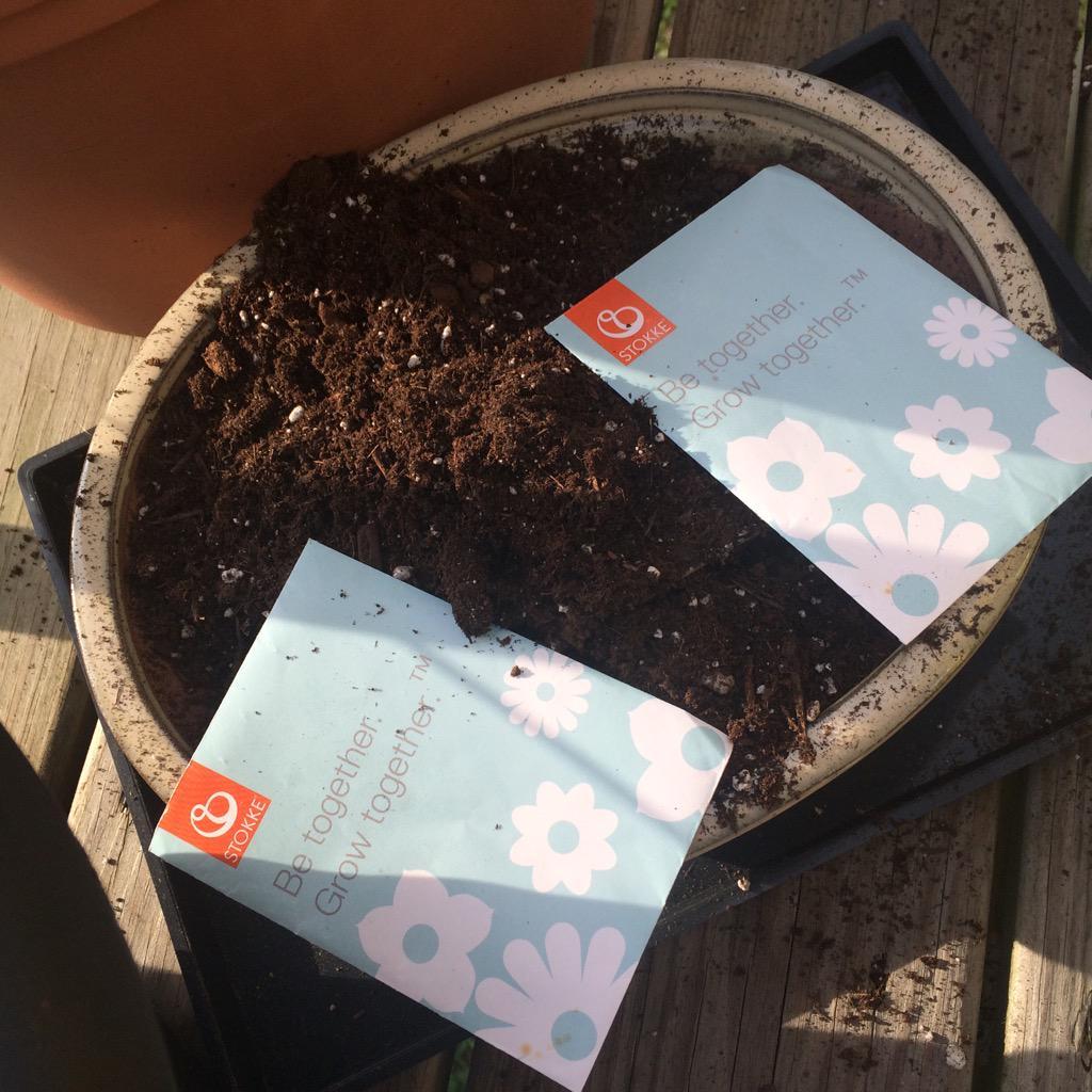 Planting my @StokkeBaby seedlings from #GettingGorgeous event! @VeraSweeney @AudreyMcClellan http://t.co/UOv5to8spt