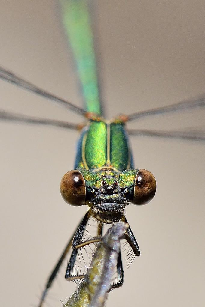 Macro of the great Emerald Damselfly (Lestes Sponsa)