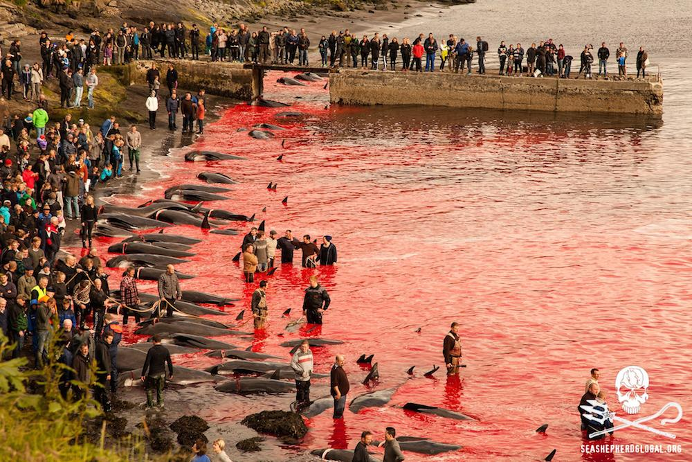 #BREAKING: Massive Pod Of Pilot Whales Slaughtered In Faroes. Updates on crewmembers soon.#SeaShepherd #OpGrindini http://t.co/mAnsmd3GMT