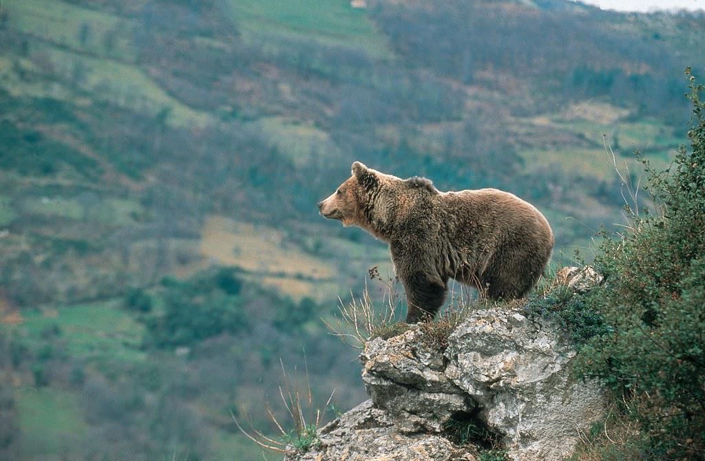 ¿Sabes en qué #ReservasDeLaBiosfera de #Asturias podemos encontrar osos pardos? Descúbrelo: http://t.co/jWmwEyDnHA http://t.co/E2dc2JYkWB