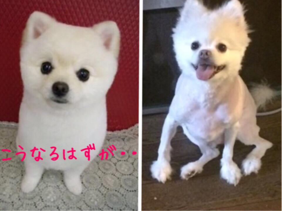 美容師の友達が「言うても私美容師だし!人間の毛も犬の毛も一緒だろ」と愛犬のポメラニアンに柴カットを施した結果がヤバすぎて涙出た http://t.co/LhQCqhUzZh
