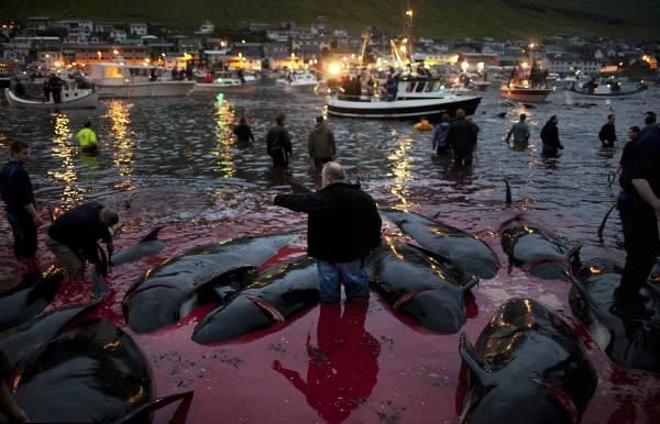 RT @oceanCRIES: The Mass Slaughter of Pilot Whales in the #FaroeIslands NEEDS TO STOP http://t.co/dMAmsqtXcs v @ryotnews #OpGrindini http:/…