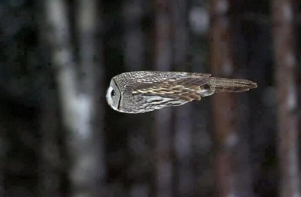 An Owl During Flight http://t.co/Q9w0i0Ztm1