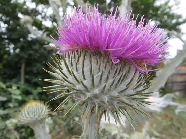 # thistle in # Bloom #Terschelling # flora  @staatsbosbeheer. http://t.co/TJsqqSHemI