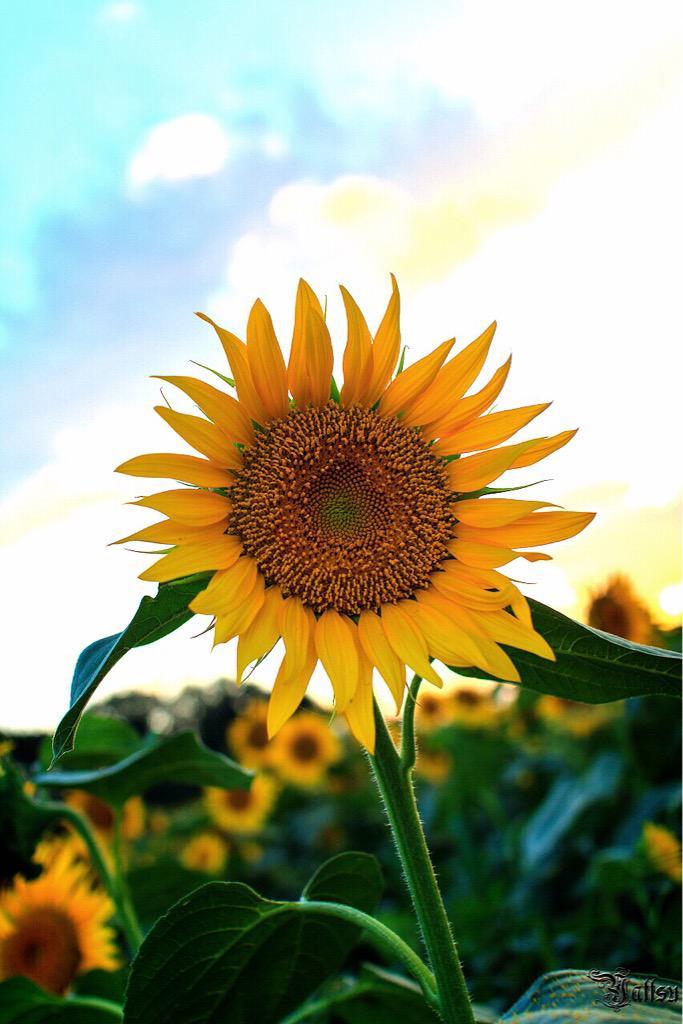 ひまわり畑 #写真撮ってる人と繋がりたい #写真好きな人と繋がりたい #ファインダー越しの私の世界 #気に入ったらRT #写真 #フォロワー募集 #被写体募集 #東北が美しい http://t.co/WMaAmgRj2Y