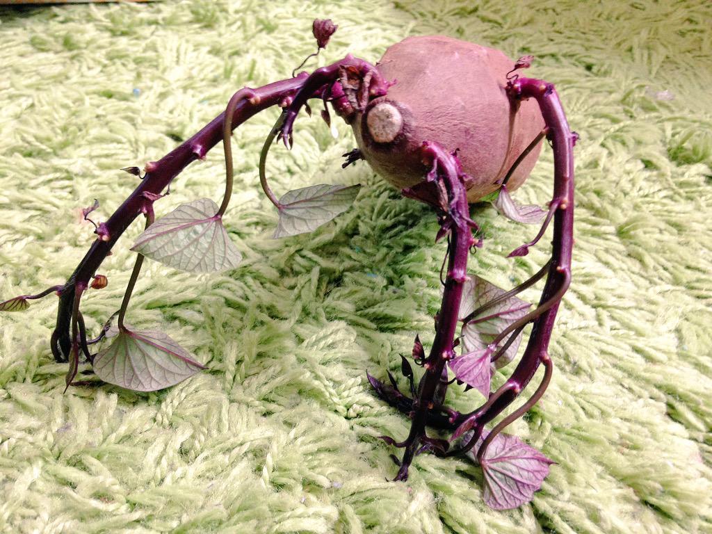家で芽が出てしまったサツマイモを発見!…なんか怖いんですけど http://t.co/T5JisBAD7c