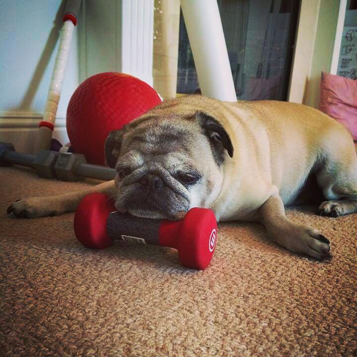 Little Sheba the Hug Pug is Pumping Iron