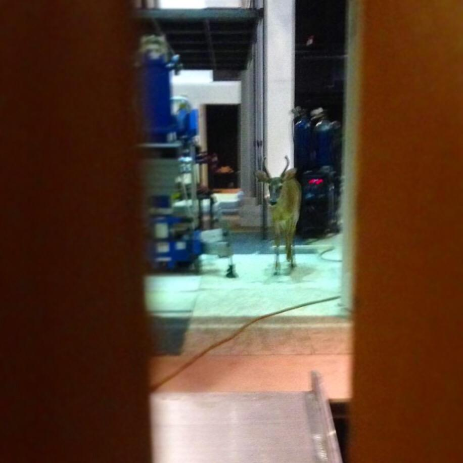 Oh deer! Just your average Tuesday when A DEER GETS STUCK IN THE THEATER! #Vote4Bambi http://t.co/N5k89kvLHG