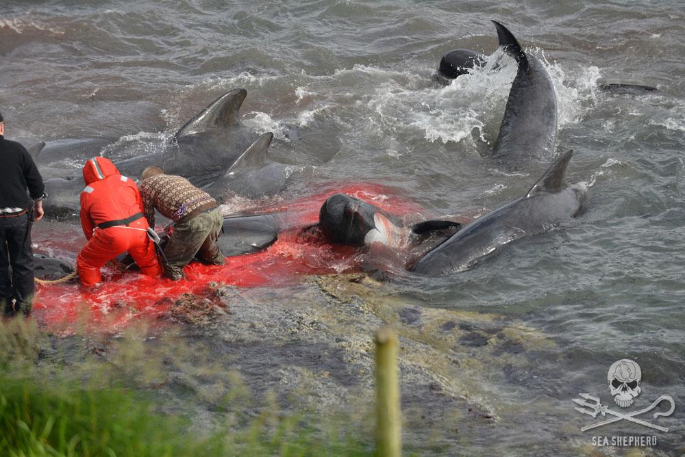 RT @SeaShepherd_USA: The Blood of the Whales is Indeed on Danish Hands http://t.co/yhpns3F1K9 By Sea Shepherd Founder, Captain Paul Watson …