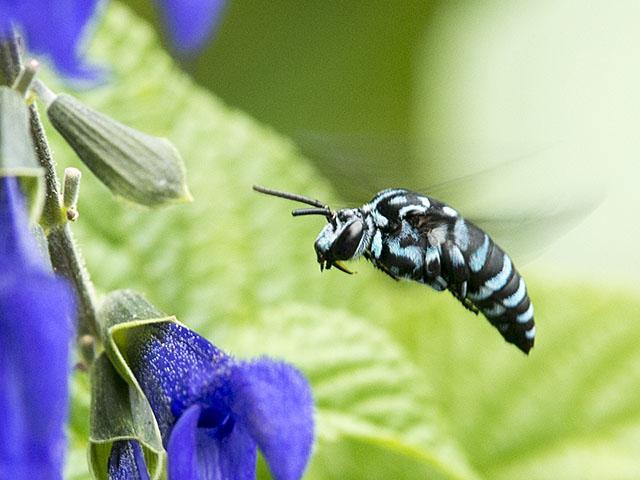 幸せの青い蜂ルリモンハナバチ。 先日確認した柑橘類の花が終わってしまったため、ブルーサルビアの前で張り込みした。来てくれた。 Thyreus decorus http://t.co/6Iq26TGokH