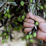 لو يذكر الزيتون غارسهُ لصار الزيت دمعاً! #أدب_محمود_درويش http://t.co/BRhJfVhJDb