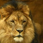 @rickygervais: RIP #CecilTheLion  Im struggling to imagine anything more beautiful than this http://t.co/6YJcbPoY51