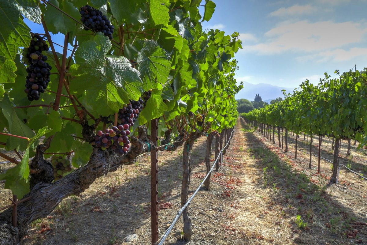 Our Yountville vineyard looks beautiful. #NapaHarvest http://t.co/8hGcE5VtdG