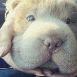 Conoce a Tonkey, el tierno cachorro con cara de cuy → http://t.co/VlrfccwQEj http://t.co/3JSdMPhA5g