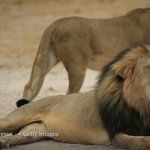 Dentist from Minnesota is accused of killing Cecil, a beloved lion in Zimbabwe http://t.co/W2aZ7Zi5sJ http://t.co/ypOI6PSqUl