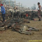 VICTORY! After 250 years, horrific mass animal slaughter BANNED at #Nepal #Gadhimai Festival: http://t.co/EgbQ9qekvr http://t.co/eebydaIvm4