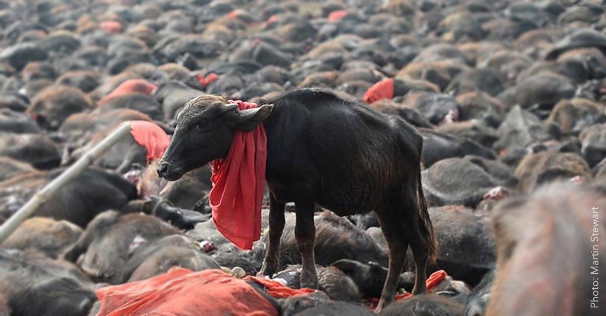 KINDNESS WINS: Nepal has ENDED the world's largest animal sacrifice event: http://t.co/BfBSpHcMEi #KindnessWins http://t.co/OTQrYFiw6i